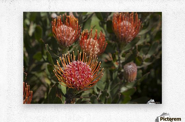 Pincushion (Scabiosa) protea flower; Kula, Maui, Hawaii, United States of America  Metal print