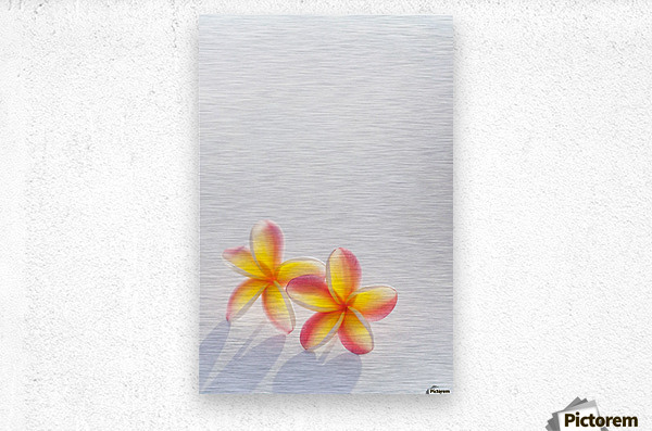 A pair of beautiful yellow and pink Plumeria flowers together (Apocynaceae) on a white background; Honolulu, Oahu, Hawaii, United States of America  Metal print