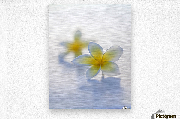 Close-up of two beautiful yellow Plumeria flowers (Apocynaceae) in soft focus; Honolulu, Oahu, Hawaii, United States of America  Metal print