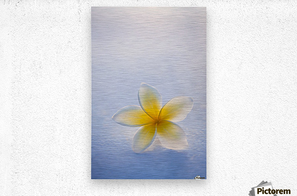 Close-up of a single beautiful yellow Plumeria flower (Apocynaceae) in soft focus; Honolulu, Oahu, Hawaii, United States of America  Metal print