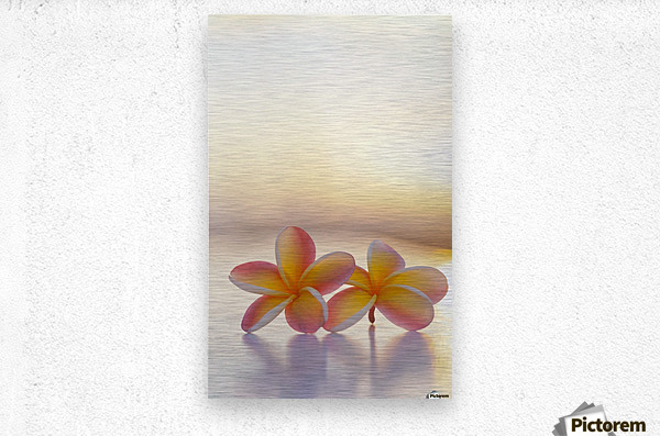 Close-up of a pair of beautiful yellow and pink Plumeria flowers (Apocynaceae) with sunset lighting the background; Honolulu, Oahu, Hawaii, United States of America  Metal print