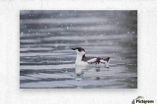 Marbled Murrelet With Winter Plumage Swimming During A Snowfall In Prince William Sound, Alaska, Southcentral, Winter, Iucn Endangered  Metal print