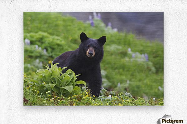 Black Bear Standing In Alpine Vegetation, Harding Icefield Trail, Kenai Fjords National Park, Near Seward, Southcentral Alaska, Summer  Metal print