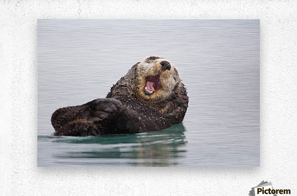 Sea Otter Floating On Back Scratching Head And Yawning, Prince William Sound, Southcentral Alaska, Winter  Metal print