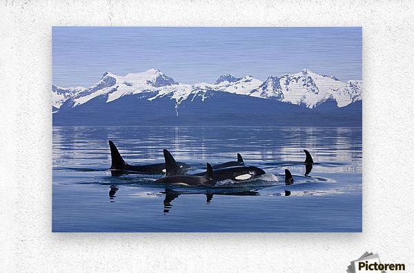 Orca Surface In Lynn Canal Near Juneau With Coast Range Beyond, Inside Passage, Alaska  Metal print