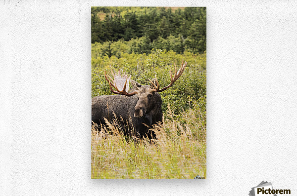 Bull moose (alces alces) in the rutting period, Powerline Pass, South-central Alaska; Anchorage, Alaska, United States of America  Metal print