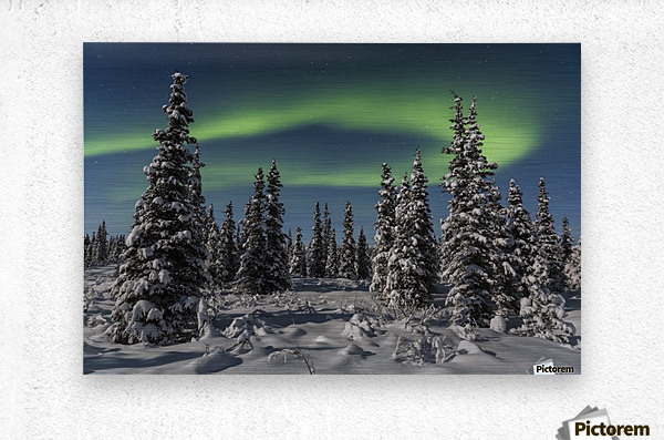 Green Aurora Borealis dances over the tops of snow covered black spruce trees, moonlight casting shadows on a clear winter night, interior Alaska; Gakona, Alaska, United States of America  Metal print