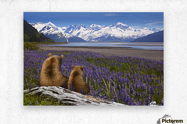COMPOSITE: Grizzly Sow & cub sit in lupine along Seward Highway, Turnagain Arm, Southcentral Alaska  Metal print