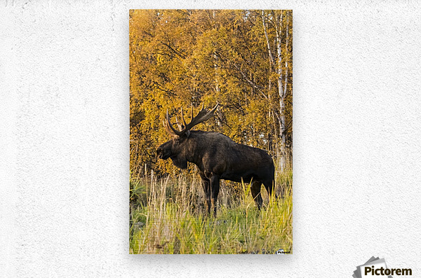Bull moose (alces alces) with antlers, South-central Alaska; Anchorage, Alaska, United States of America  Metal print