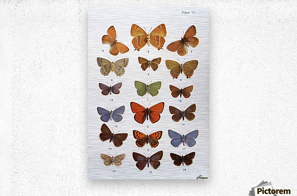 Different types of butterflies. Illustration by W.S.Furneaux. From the book Butterflies, Moths and Other Insects and Creatures of the Countryside. Published 1927.  Metal print