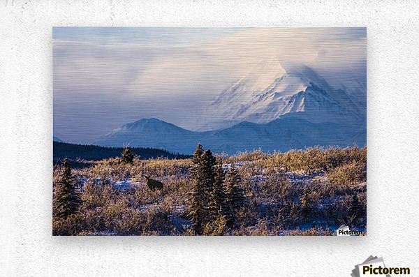 A moose (alces alces) forages on a winter morning with the Alaska Range in the background partially enshrouded in clouds; Alaska, United States of America  Metal print