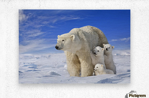 View Of Polar Bear Sow (Ursus Maritimus) With Her Triplet Cubs On The Wind Swept Plains Of Wapusk National Park, Manitoba, Canada, Winter, Composite  Metal print