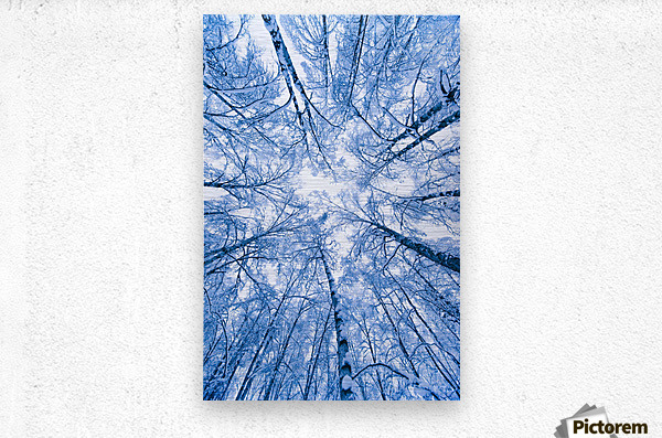 Tree Top Abstract Of A Snow Covered Birch Forest, Winter, Anchorage, Alaska  Metal print