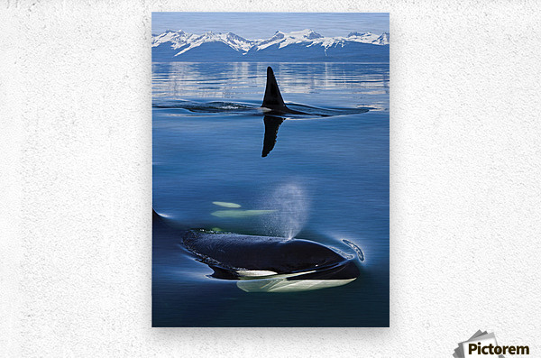 Composite: Close Up Of Orca Whales As They Surface In Lynn Canal With The Coast Range Mountains In The Background, Inside Passage, Southeast Alaska  Metal print