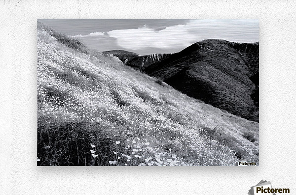poppy flower field with mountain and cloudy sky background in black and white  Metal print