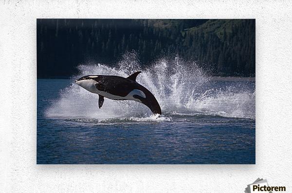 Double Breaching Orcas Bainbridge Passage Prince William Sound Alaska Summer Southcentral  Metal print
