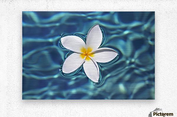 Plumeria flower floating in clear blue water.  Metal print