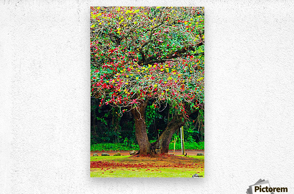 big tree with green yellow and red leaves  Metal print