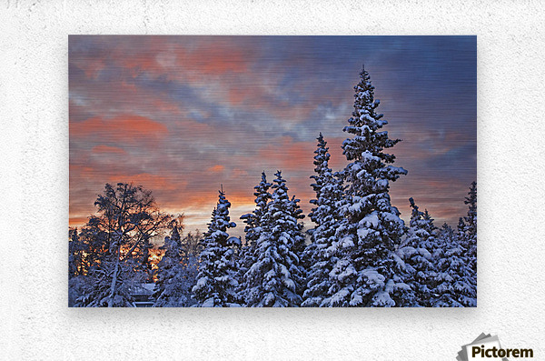 View Of Snow Covered Spruce Trees In A Rural Area Of Anchorage At Sunset, Southcentral Alaska, Winter  Metal print