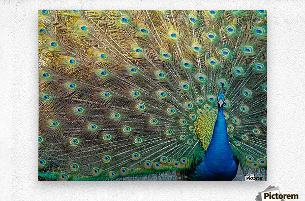 Peacock Feathers Full Frame  Metal print