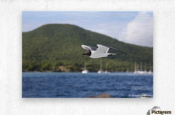 Laughing Tern in Flight  Metal print