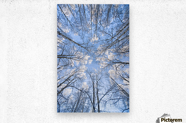 Looking Up Through Hoarfrost Covered Birch Trees In Russian Jack Park, Anchorage, Alaska  Metal print