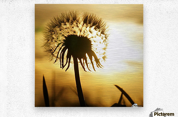 Dandelion  Impression metal