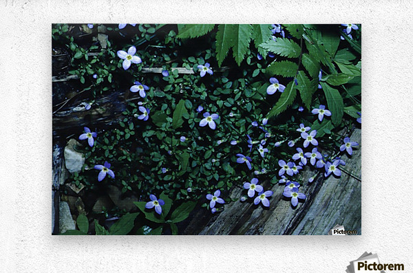 Little Bluets   Metal print