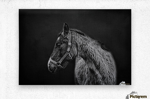 Amish Workhorse  Metal print