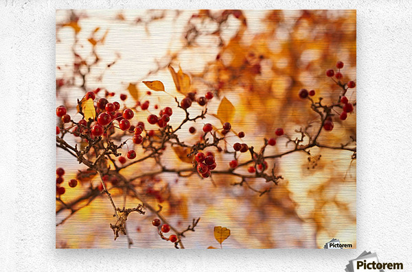 Winterberries in golden light  Metal print