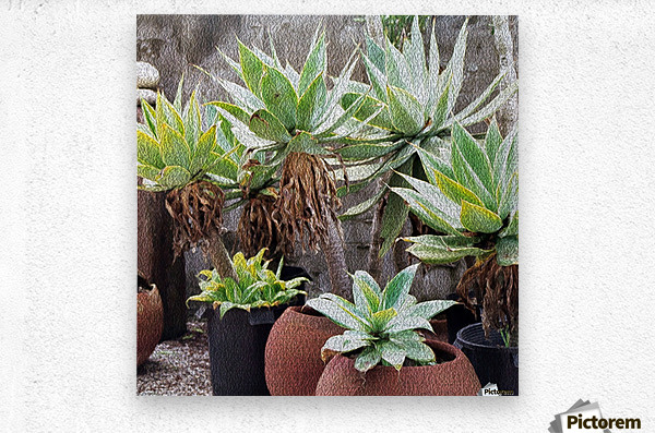 Potted Agave Plant  Metal print