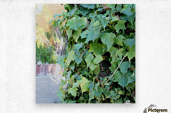Green Ivy  Metal print