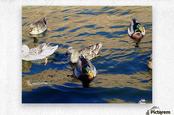 Ducks on Saguaro Lake   Impression metal