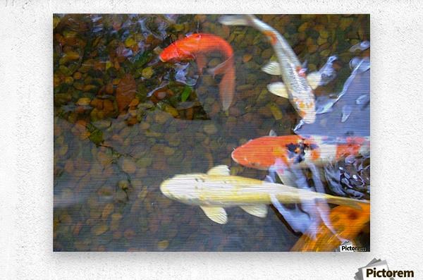 Koi Fish In Home Pond   Metal print