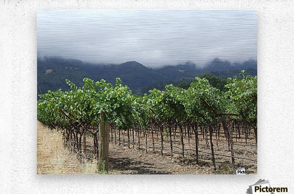 Napa Califoria Grape Vines summer 2007   Metal print