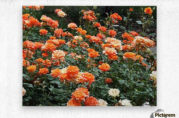 Orange Flowers Growing in Napa Califoria   Metal print