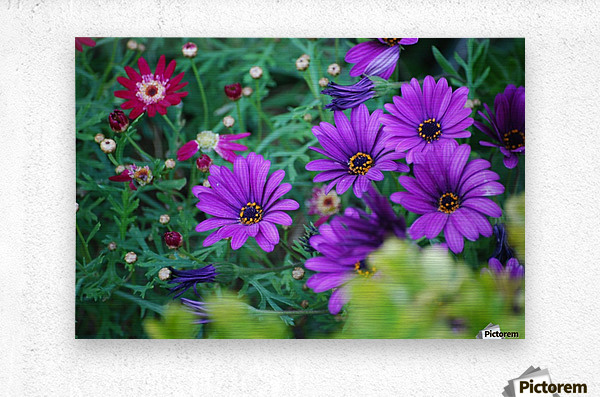 Purple Flowers in Dana Point CA  Metal print