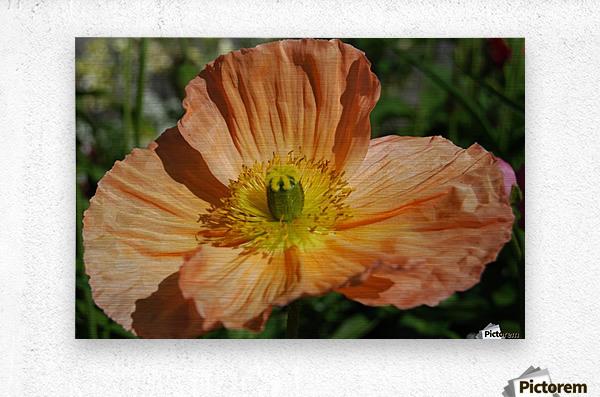 A Poppy Flower Growing  Metal print