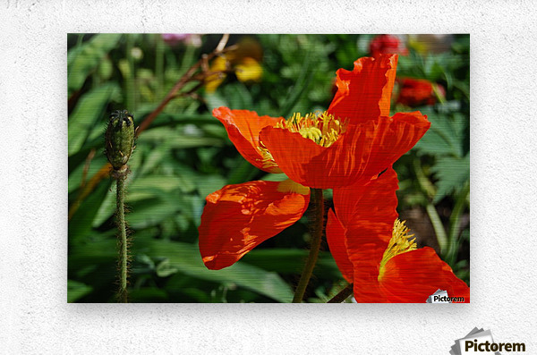 Orange Poppy Flowers Growing  Metal print