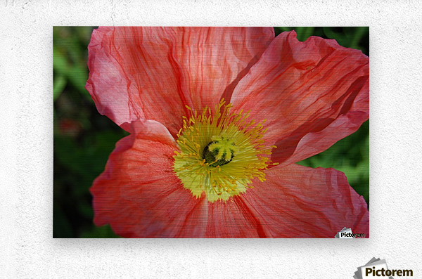 Poppies Growing in A Garden  Metal print