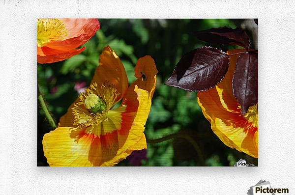 Yellow Poppies Growing in a Garden  Metal print