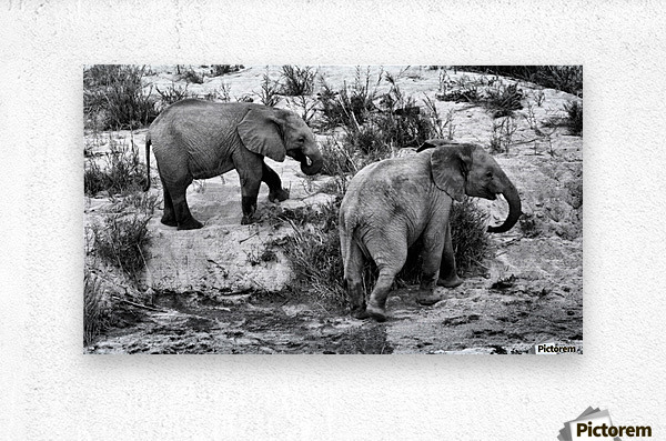 Elephant Youth  Metal print