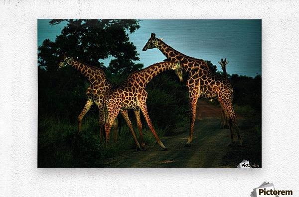 Giraffes South Africa  Metal print