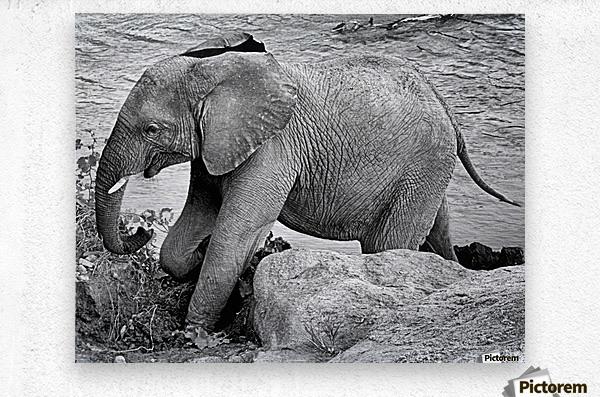 Elephant Baby  Metal print