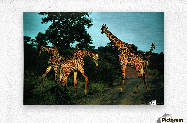 Giraffes at sundown 2  Metal print