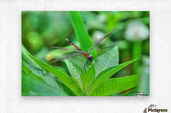 12-4 Orange Dragonfly  Metal print
