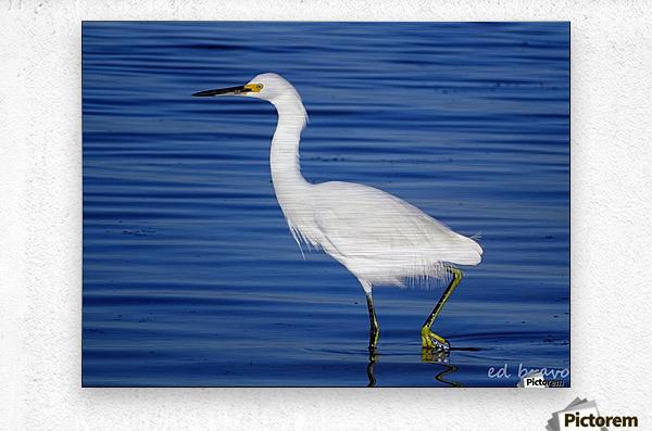 Heron White Walking  Metal print