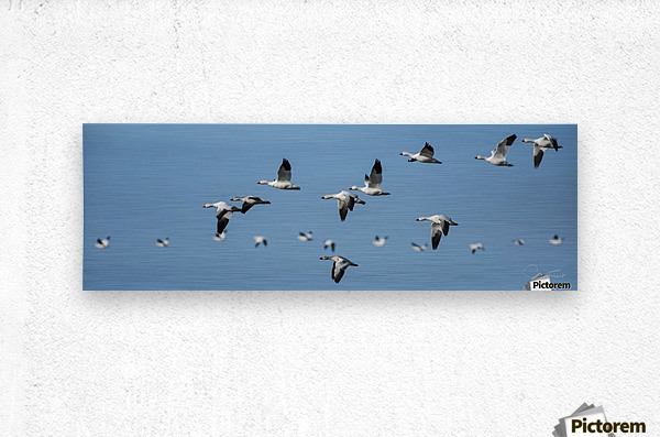Oies blanches  Metal print