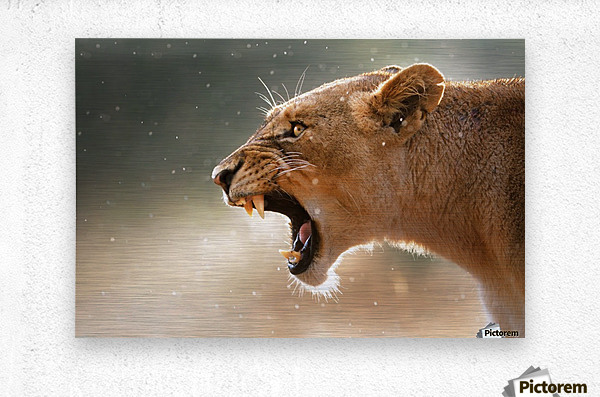 Lioness in the rain  Metal print