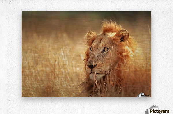 Lion in grassland  Metal print